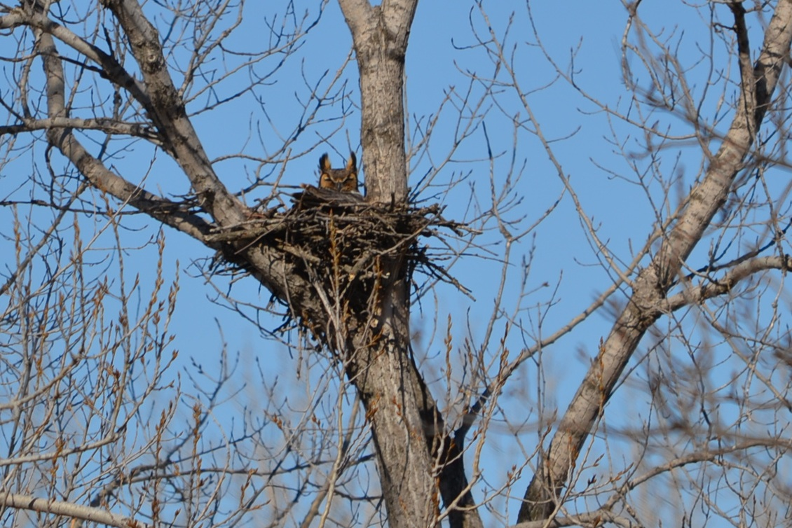 A Tribute To The Great Horned Owl Eden Hills