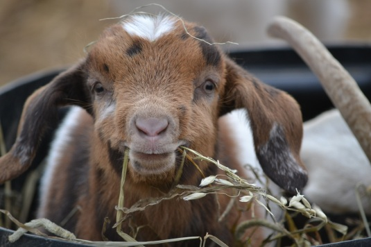 how to get rid of worms in goat pasture