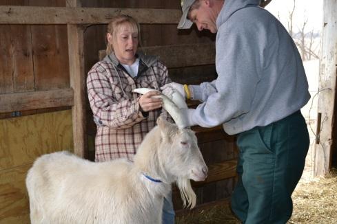 vet put casts on goat's horn
