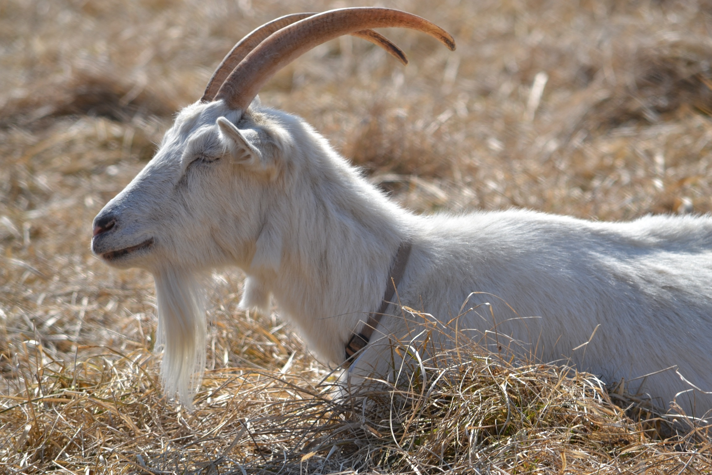 Wattles and Goat Genetics
