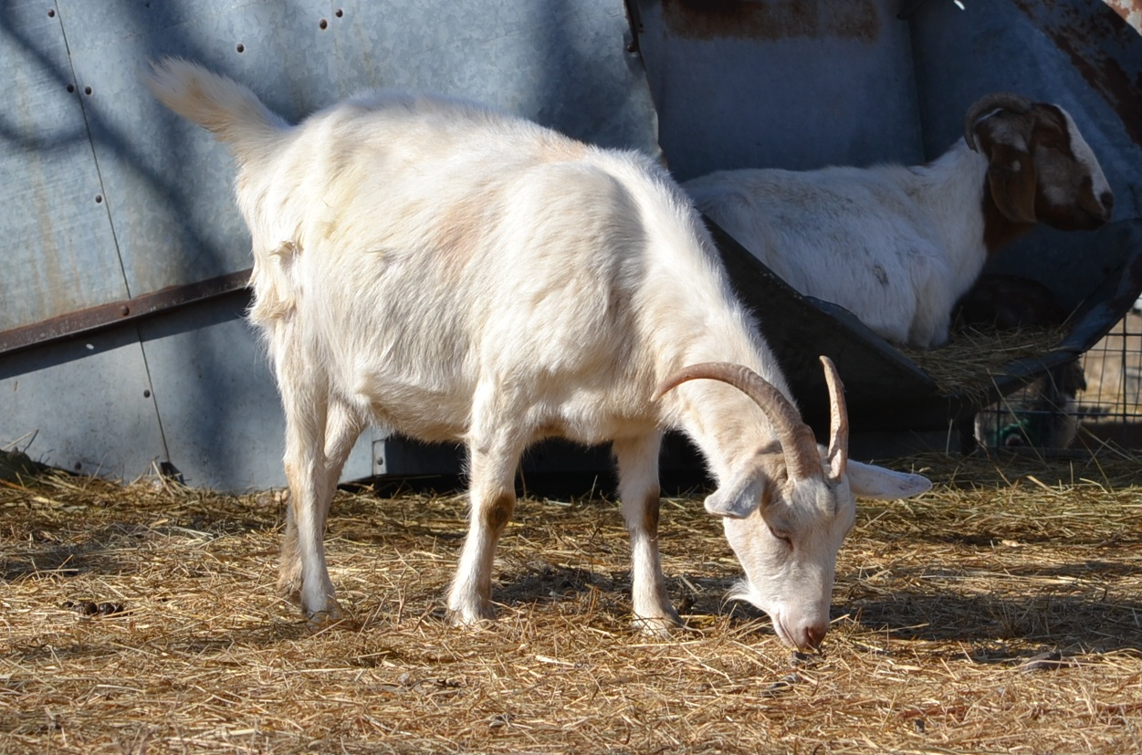 changes in vulva in pregnant doe goat