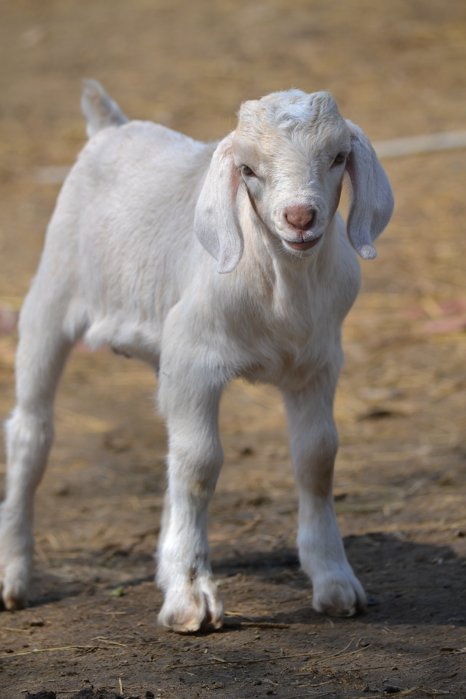 A Goat S Journey Over Life S: Goat Milk Replacer