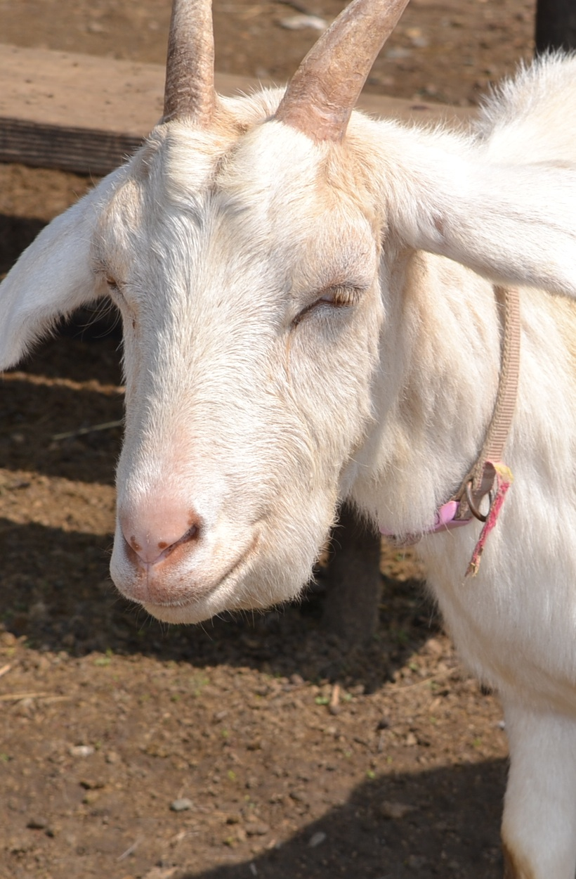 A Goat S Journey Over Life S: Anemic Goats