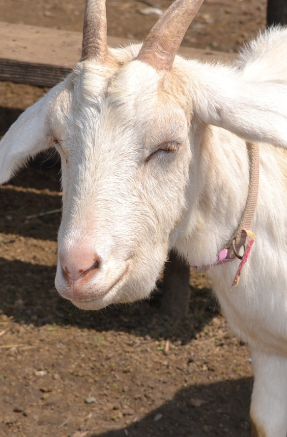 Anemia in Goats: Causes, Symptoms and Treatment | Eden Hills