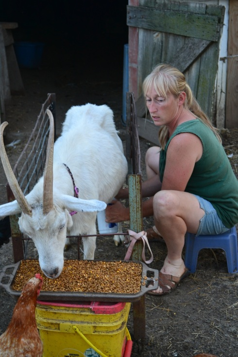 milking goat in stanchion
