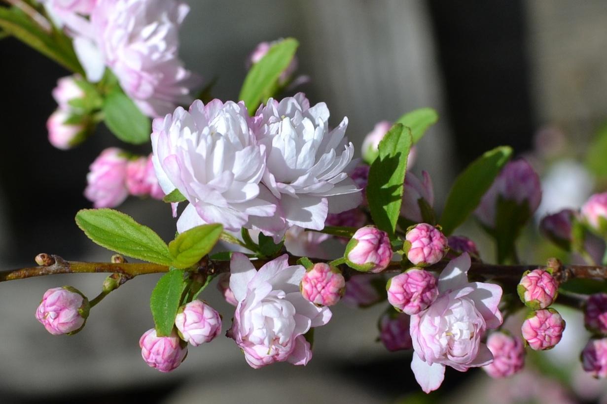flowering almond | Eden Hills