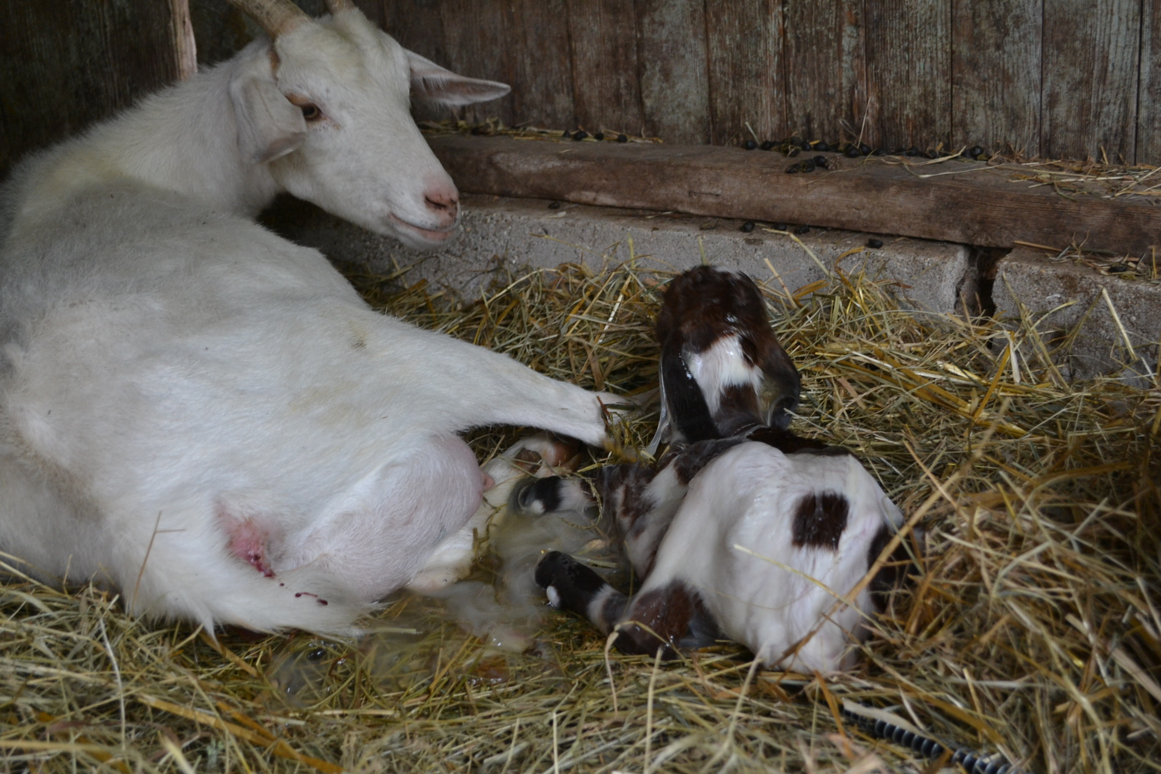 birth gives goat having she pistol already arrived seconds few