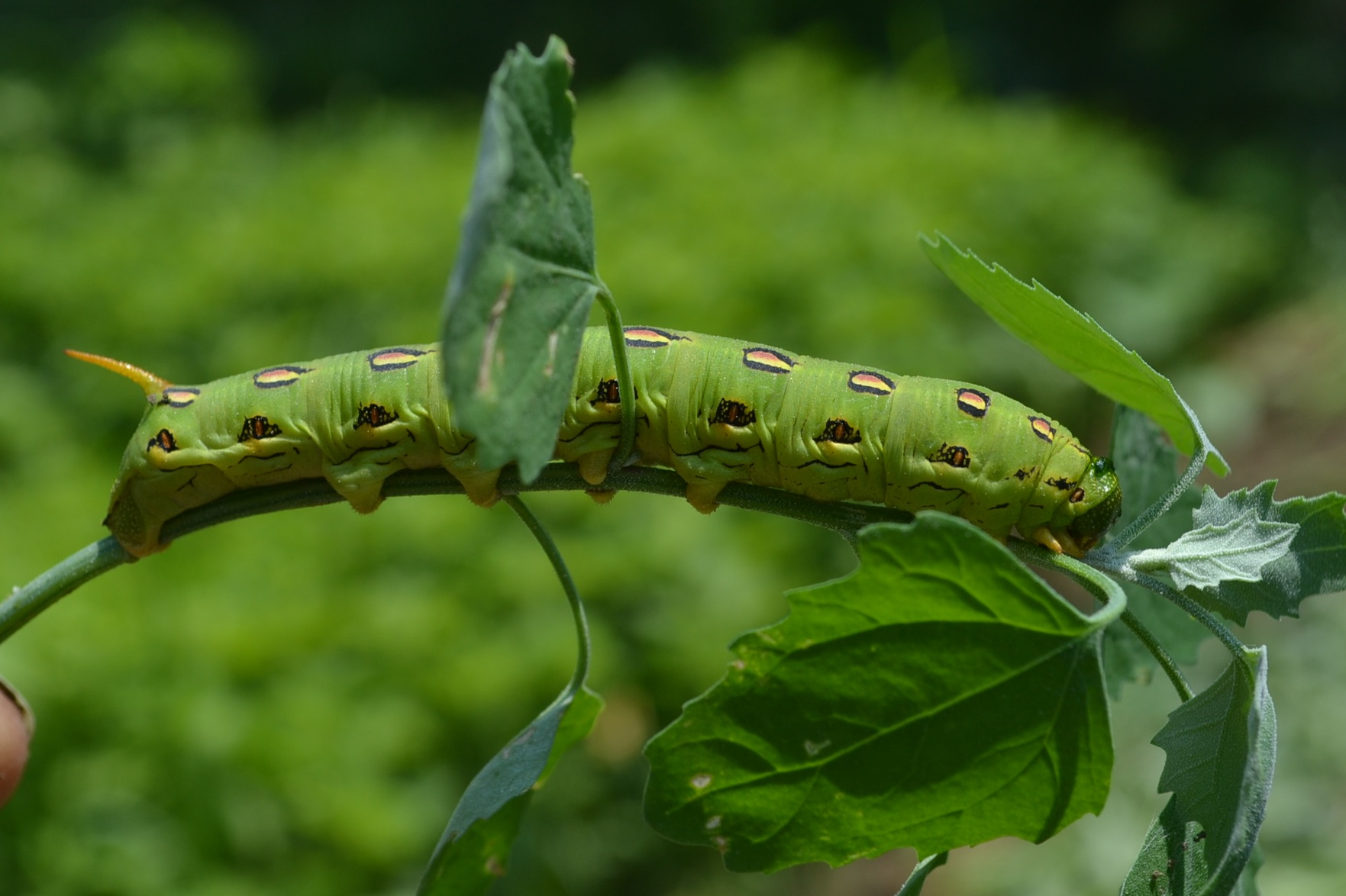 The Garden And A Tomato Hornworm on Flowers Cycle