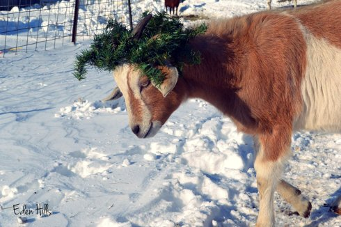 Goat in holly wreath