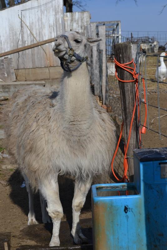 llama drinking