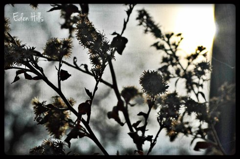 silhouette of dead asters