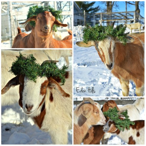 holly goat collage