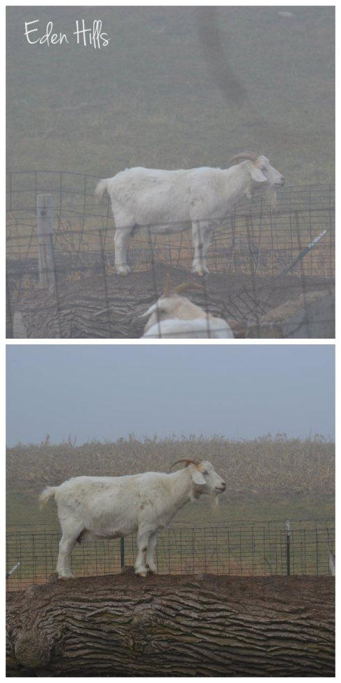 goat in fog
