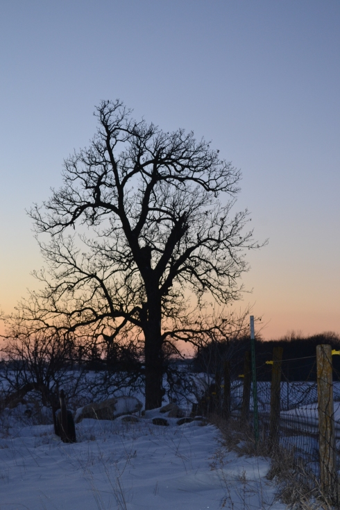 winter oak tree