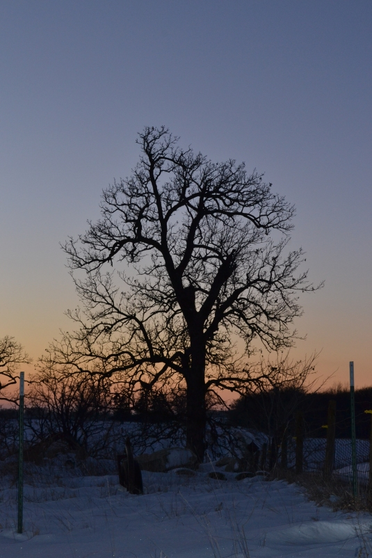 winter oak tree sunset