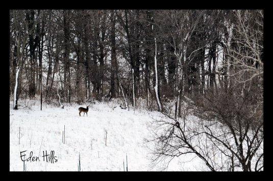 deer in snowy pasture