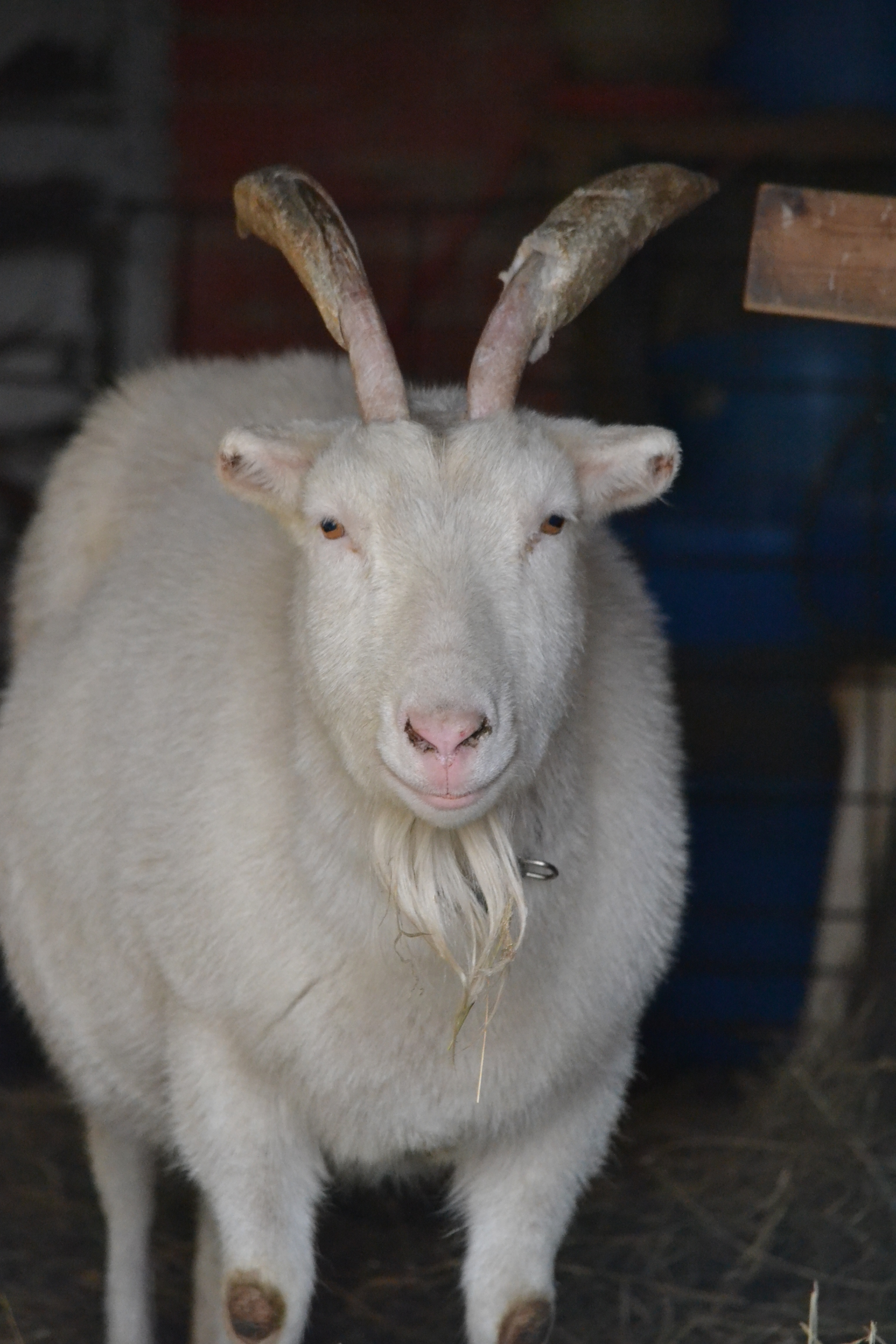 In some instances, goats may be a bit anemic, and it is not uncommon