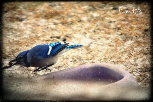 blue jay stealing dog food
