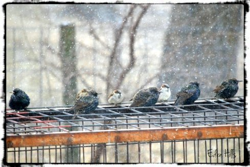 starlings in snow