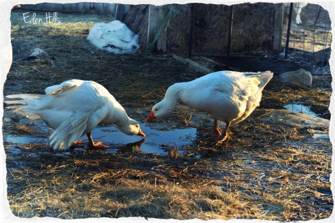 geese drinking in mud puddle