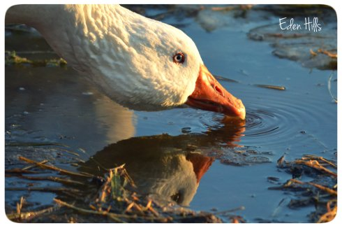 goose drinking