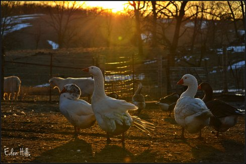 geese in sunlight