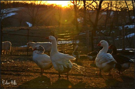 geese in sunlight
