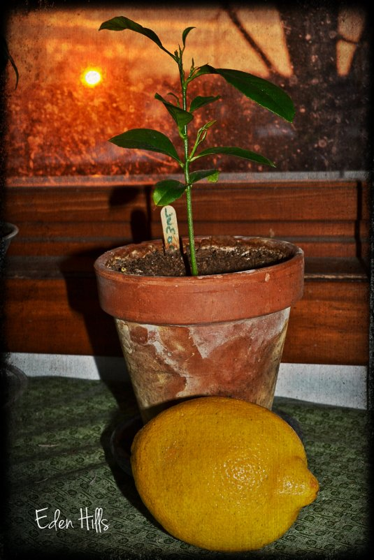 lemon tree sunset