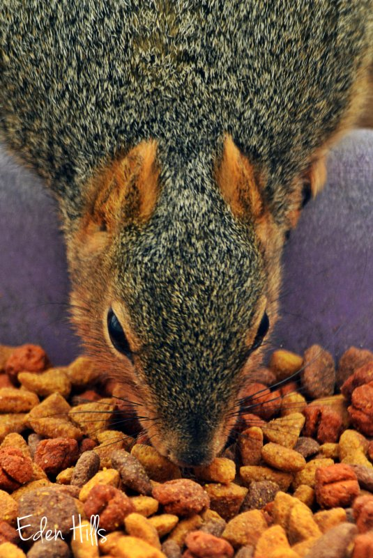 squirrel eating dog food