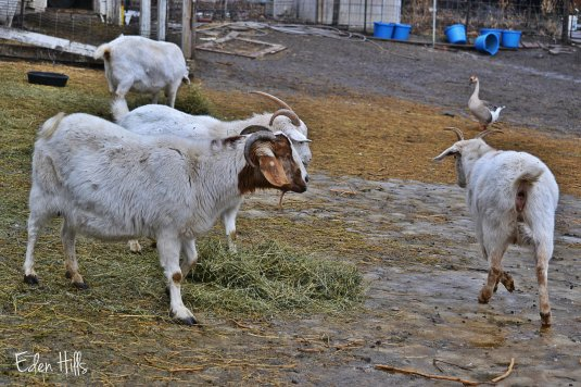 goats in muddy barnyard