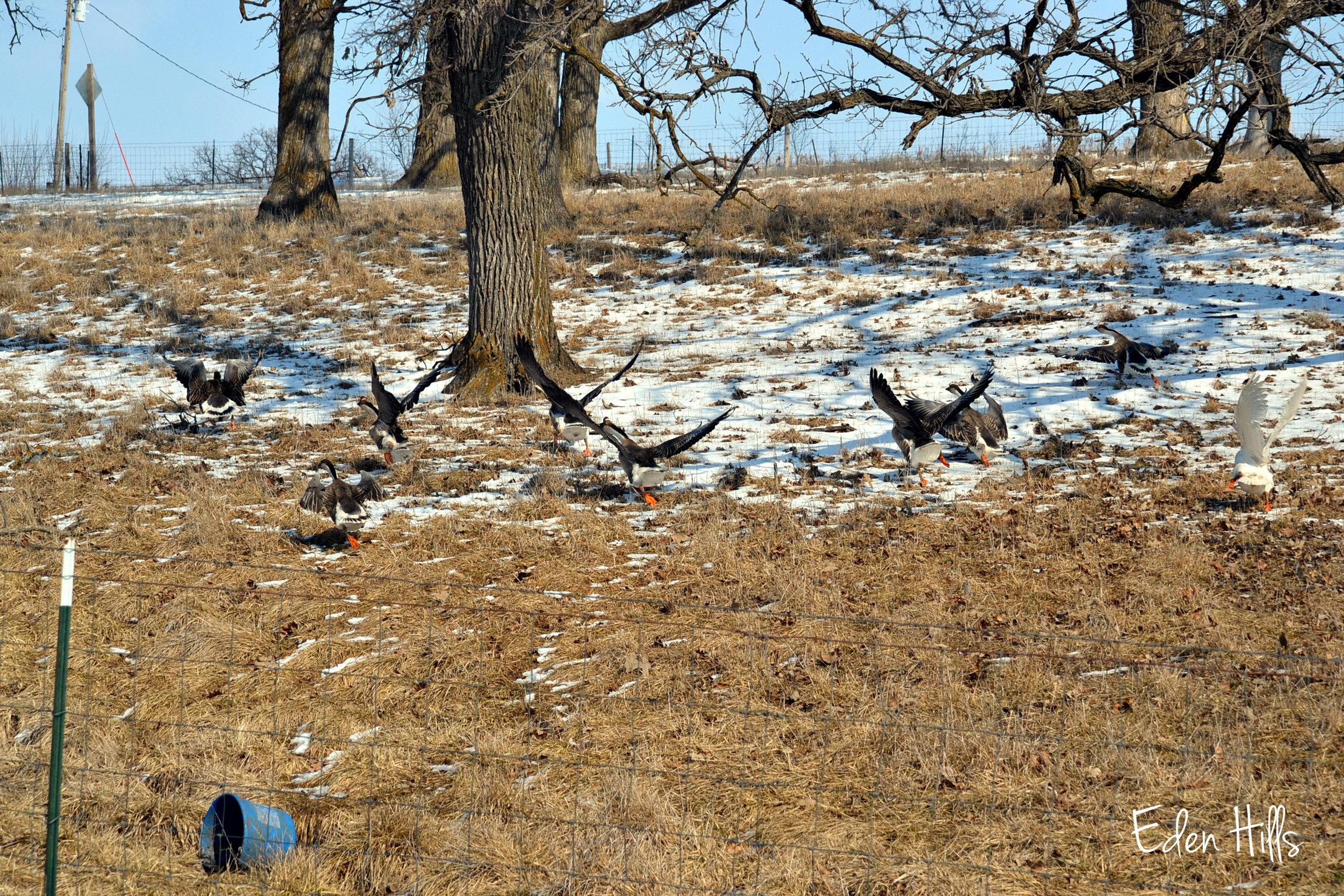 The geese in pasture eden hills for Eden hill walk in