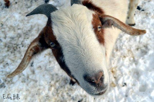 nosy goat