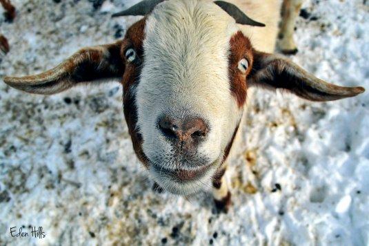 kiss me goat