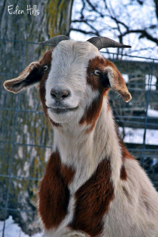curious doe goat