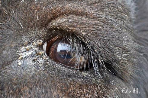 steer eye