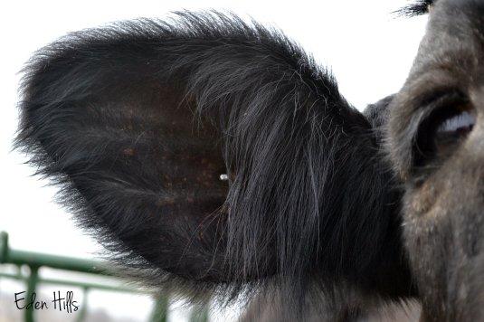 steer ear