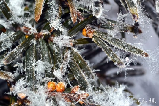 hoarfrost on evergreen