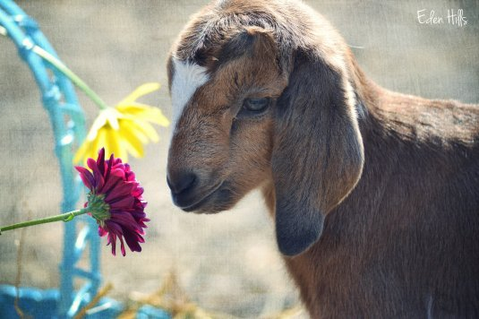 goat kid and flowers