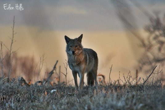 coyote at sunrise