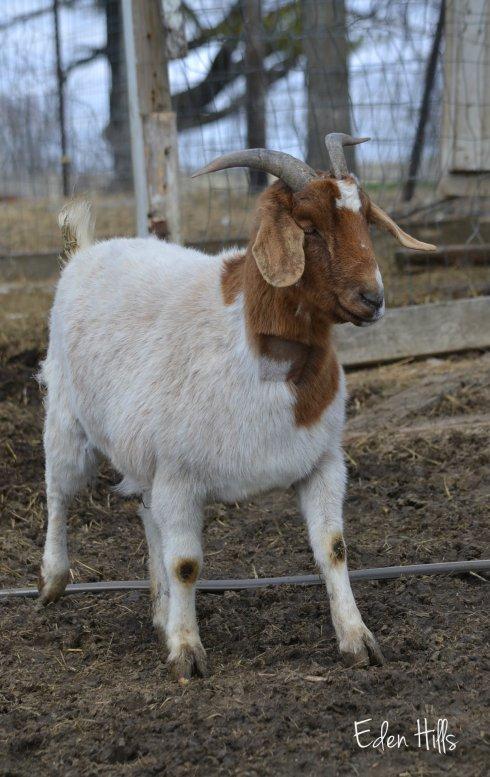 goat shaved neck