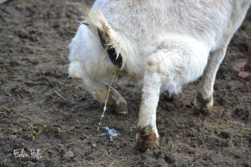 peeing goat