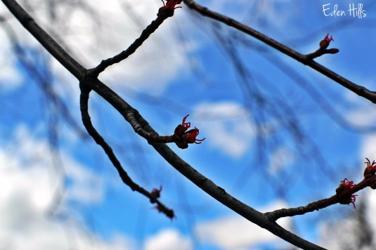 maple tree bud