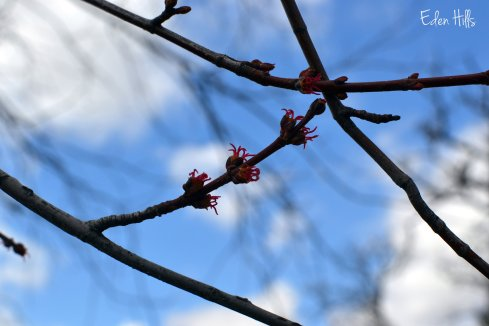 maple tree buds