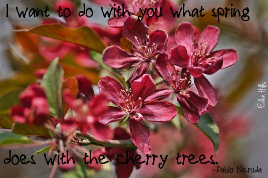 cherry blossom quote