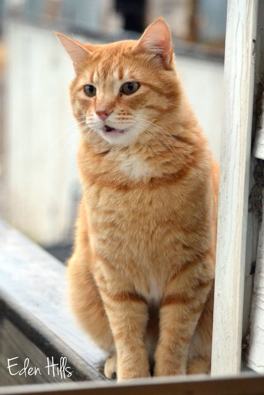 orange kitty