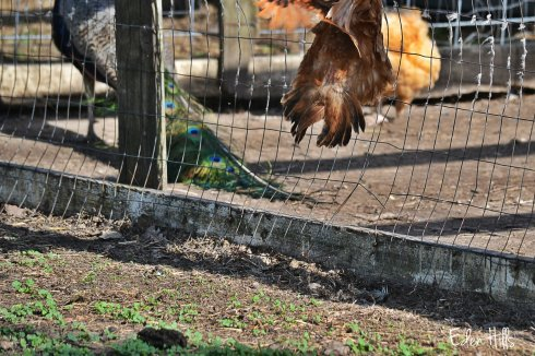 scared chicken jumping