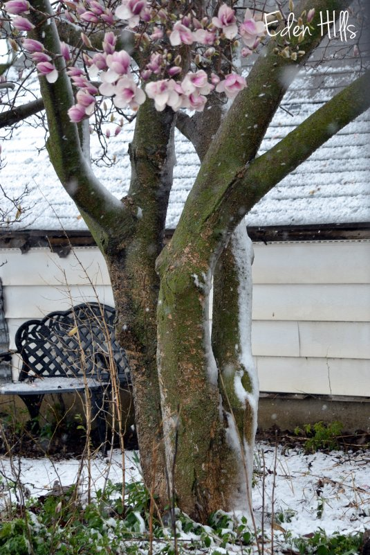 magnolia tree in snow