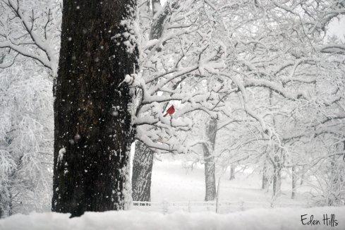 cardinal in May snow