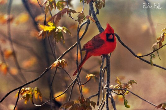 cardinal in maple tree