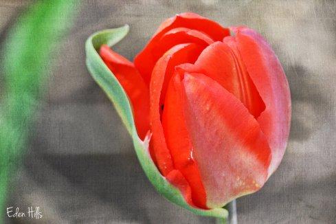 red tullip